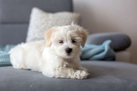 Cute little maltese dog puppy, sitting on the couch at home, curiously looking at camera