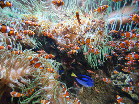 School of Anemone fish, clown fish in coral reef