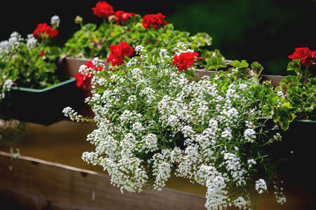 Pot with red and white flowers on a fence in garden, summertime