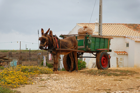 jack ass: Donkey cart in the countryside in Portugal