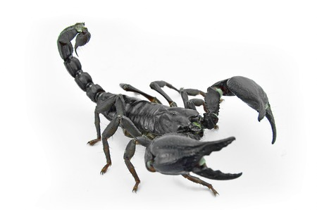 subdue: Scorpion Chang black are threatened acted on a white background.