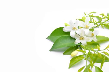 collocation: White flowers are arranged to look beautiful,Murraya paniculata.