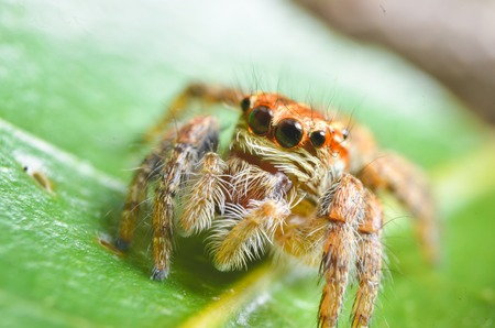 Spiders jumping orange in nature in macro view.Focus on large eyes around the head.