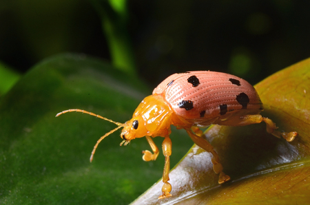 Ladybug on leaves in nature.With a cheerful gesture. 스톡 콘텐츠