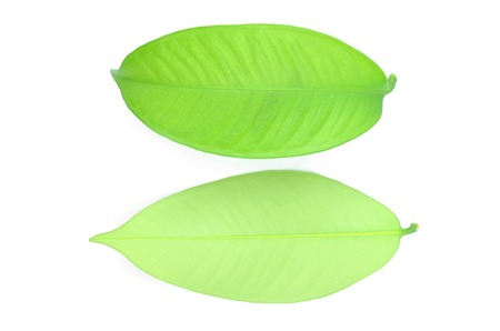 Mangosteen leaves are bright green on a white background.