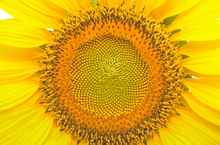 Bright yellow sunflowers are blooming in the morning.