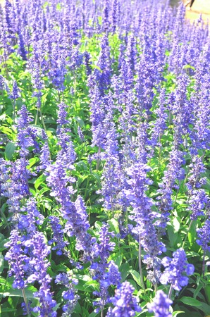 Blue salvia flowers are blossoming in the beautiful nature. Фото со стока