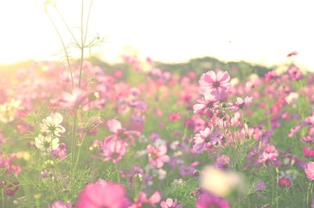 Cosmos flower garden is pink with natural light in the evening.