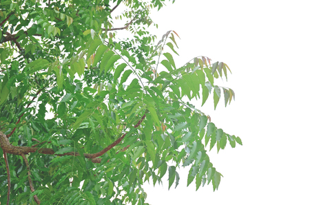 Neem leaves in the nature can be eaten.