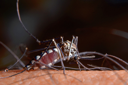 Macro of virulent mosquitoes on human skin.Mosquitoes are carriers of malaria and Encephalitis. Фото со стока