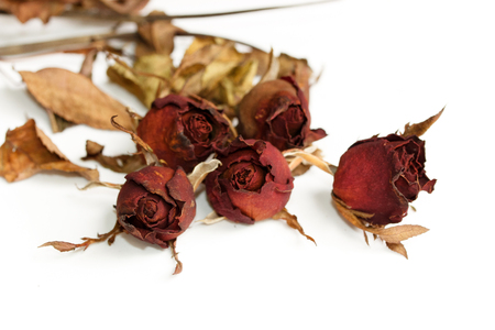 Rose dried on a white background.