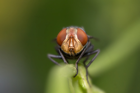 Macro photo of fly on green leaf Focus on the eyes