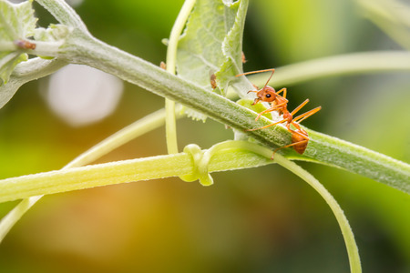 The ants walking on the branches and leaves may be either protecting their territory or finding food.