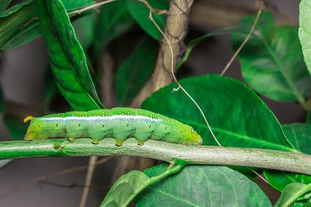 Green caterpillar on the leaves of lemon tree Stock Photo