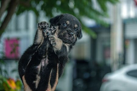 Puppy in the hands of the owner