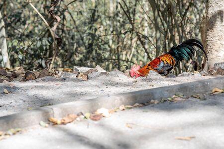 Bantam cock, bantam crows chicken colorful red