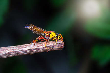 Black back mud-wasp is a common hornet in Southeast Asia. These hornets are poisonous in the bottom to be used to attack prey or invasive enemies.