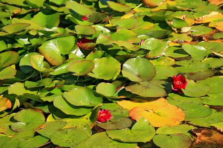 pink water lily and leaf in pond photo