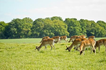 fallow deer: deer herd in Dyrehave park near Copenhagen Stock Photo