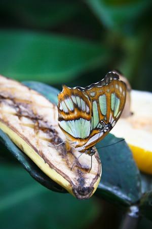 Close-up  of Malachite (Siproeta stelenes) butterfly photo