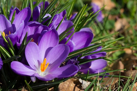 crocuses - first spring flowers in a garden photo