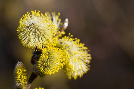 Yellow willow flowers on the branch in spring forest. 免版税图像