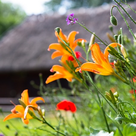 orange lilies in a garden among other flowers photo
