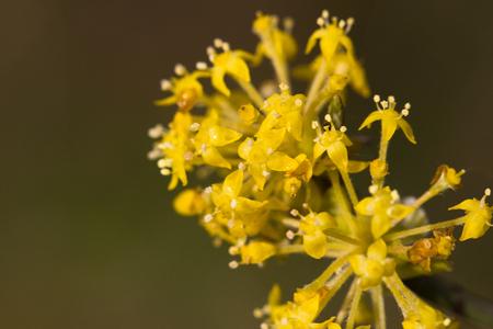 mas: Flowering dogwoods - Cornus mas , Cornelian cherry, European cornel