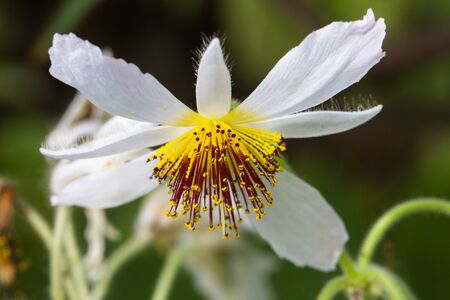 sparmannia africana - exotic tropical flower in botanical garden photo