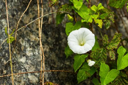 arvensis: beautiful white convolvulus flowers in a garden Stock Photo