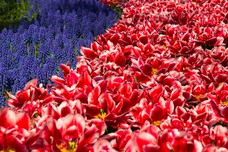 keukenhof: Muscari flowers in holland garden Keukenhof, Netherlands