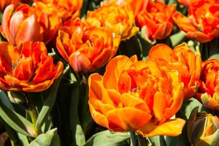 keukenhof: tulips in Keukenhof park