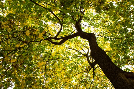 below: tree from below during golden autumn time