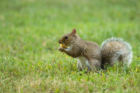 squirrel in park in New Haven, USA