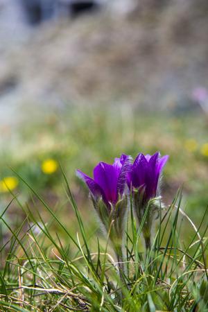 pulsatilla: Mountain Pasqueflower (Pulsatilla montana) in Swiss alps Stock Photo