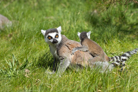 primates: portrait of a cute lemur in a zoo