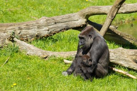 Western Gorilla in Givskud park in Denmark