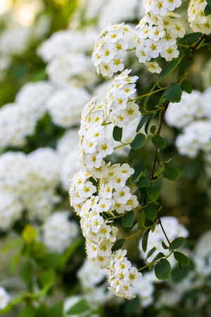 flowered: Background of little white spring blooming flowers bush