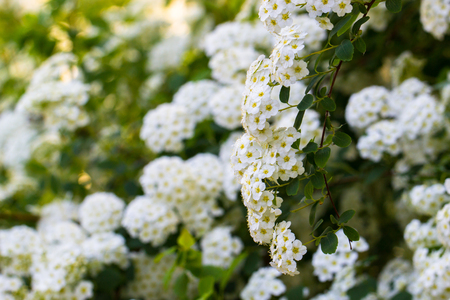 Background of little white spring blooming flowers bush