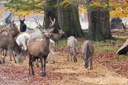 deers in Dyrehave forest north of Copenhagen