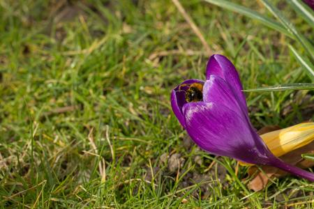 blomming crocus flowers - the first spring flowers