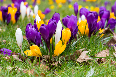blomming crocus flowers - the first spring flowers