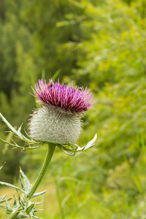 Close up of wild alpine burdock flower, Dolomites