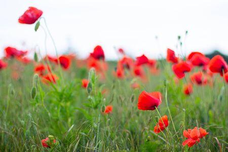 Field with wild red poppies flowers, danish countryside 版權商用圖片