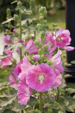 alcea: rosa malva Alcea rosea L Foto de archivo