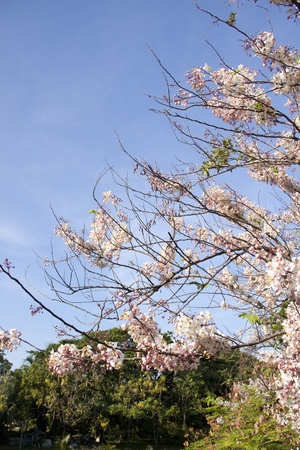 resemble: pink flower resemble sakura  Cassia bakeriana Craib