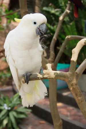 kakadu: A portrait of Kakadu parrot Stock Photo