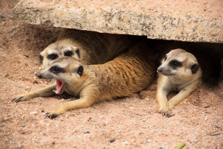 nosey: a family meerkat in hole
