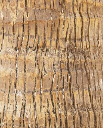 texture of skin coconut tree  photo