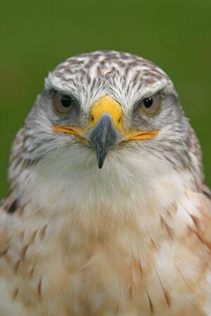 ferruginous: ferruginous hawk portrait